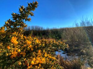 Image of Gorse in Saint Fitticks Park by Natalie Hood